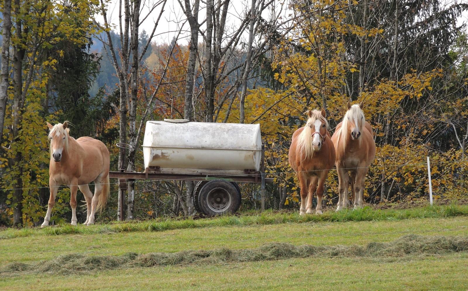 Pferde bei Gaißach im Tölzer Land