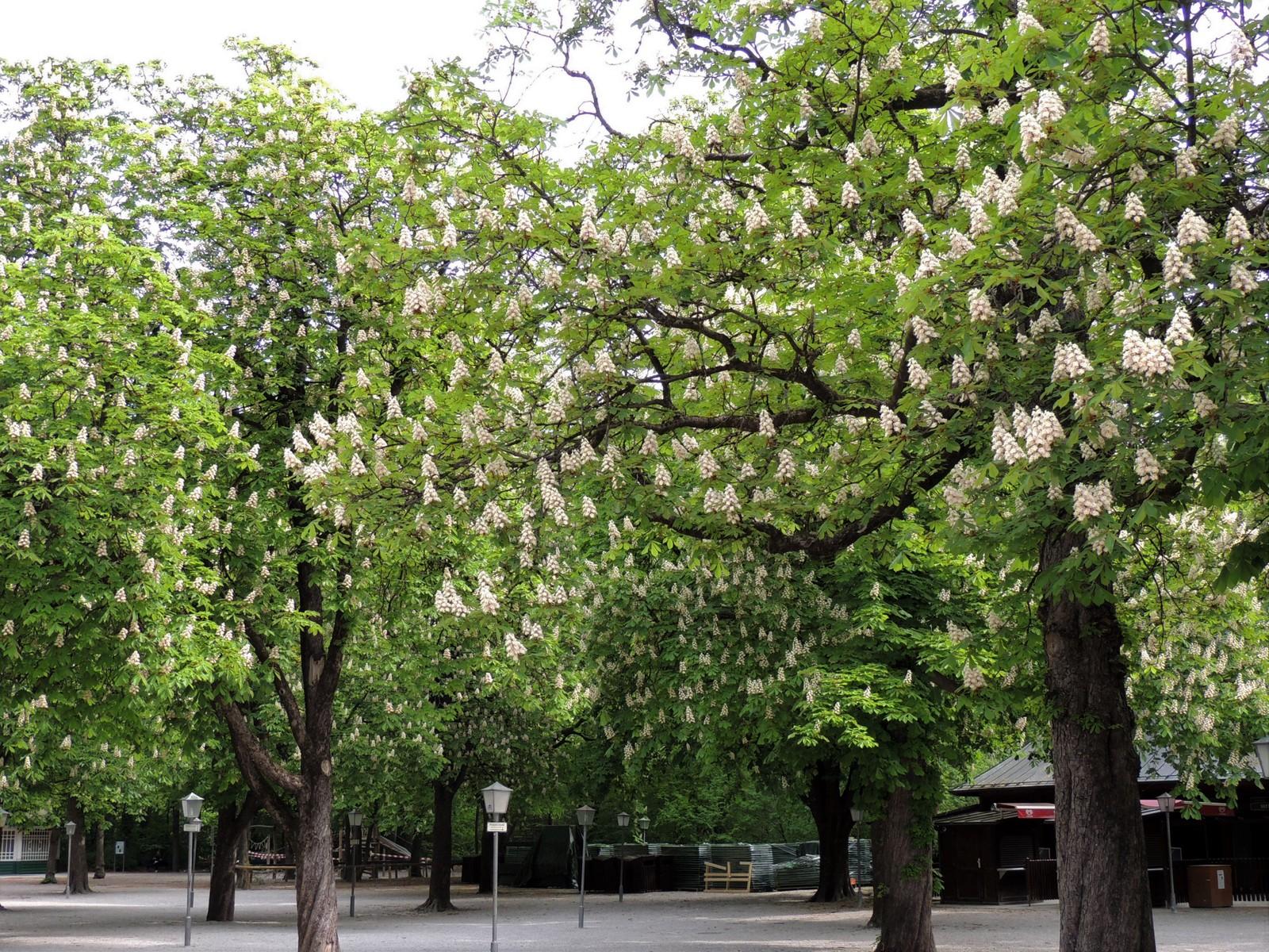 Der Englische Garten - Kastanienbäume im Biergarten Chinesischer Turm