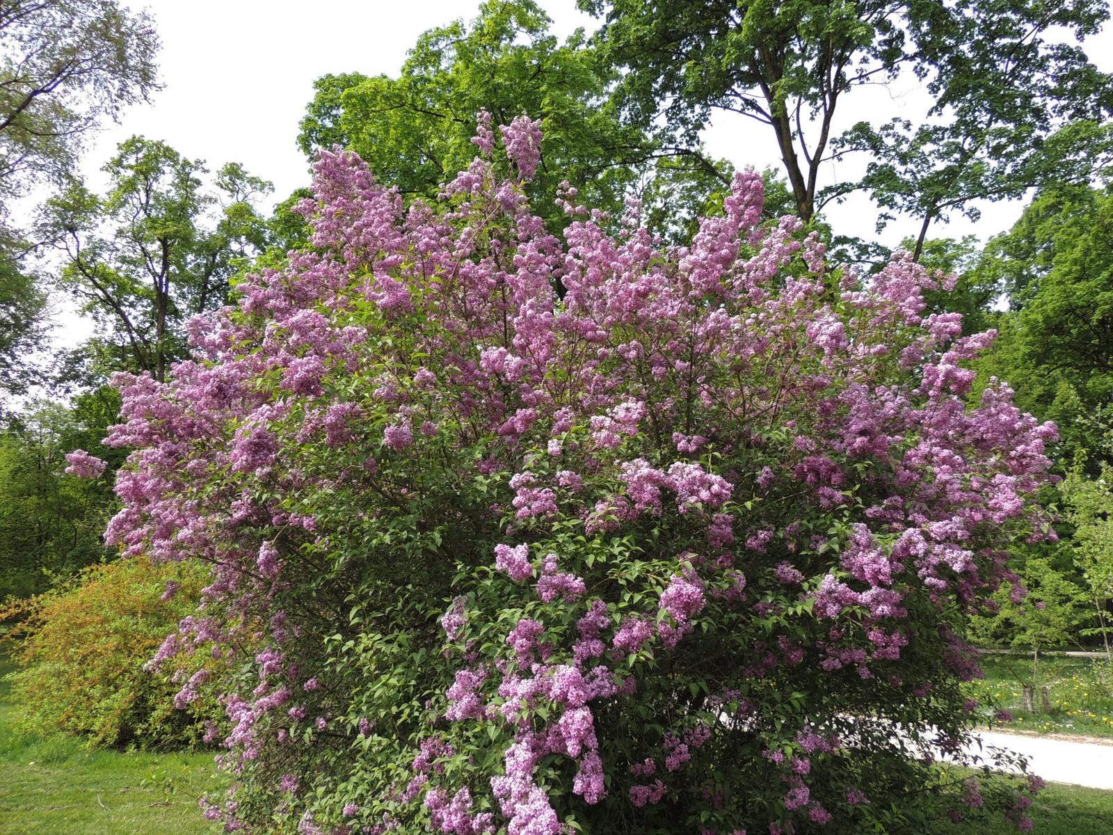 Der Englische Garten - blühender Flieder