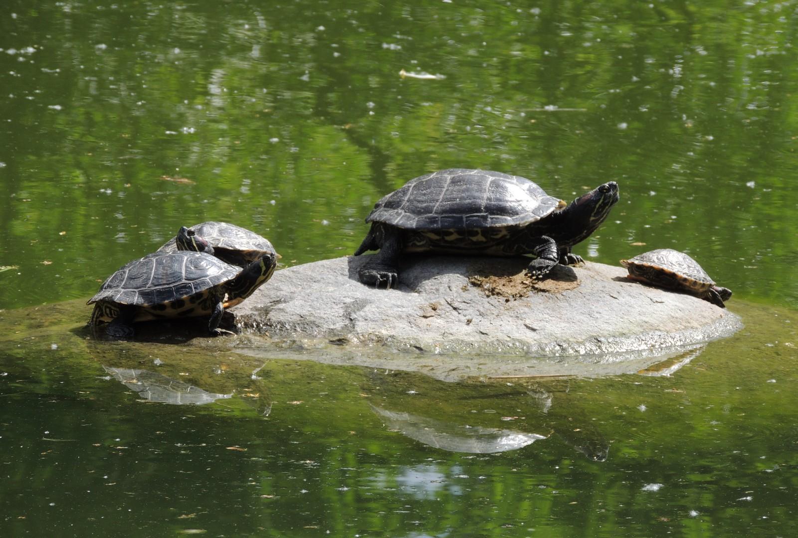 Sumpfschildkröten im Westpark