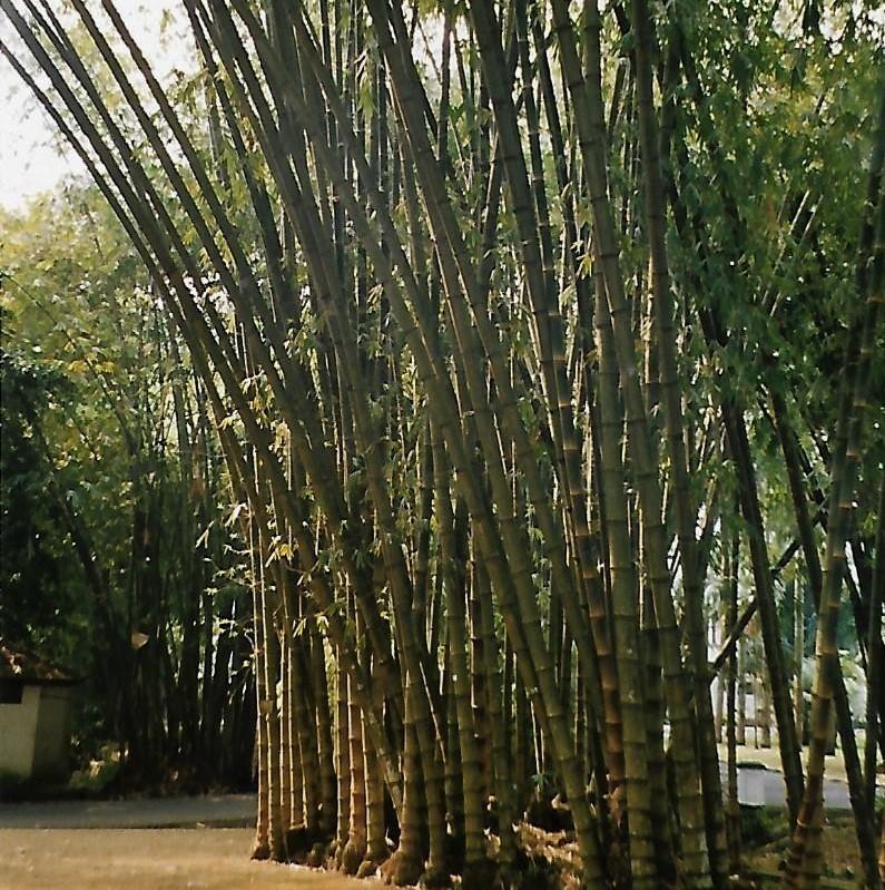 Bambushain im Botanischen Garten von Bogor auf Java