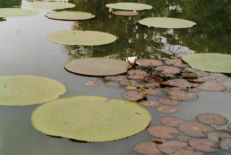 Riesenseerosen im Botanischen Garten von Bogor