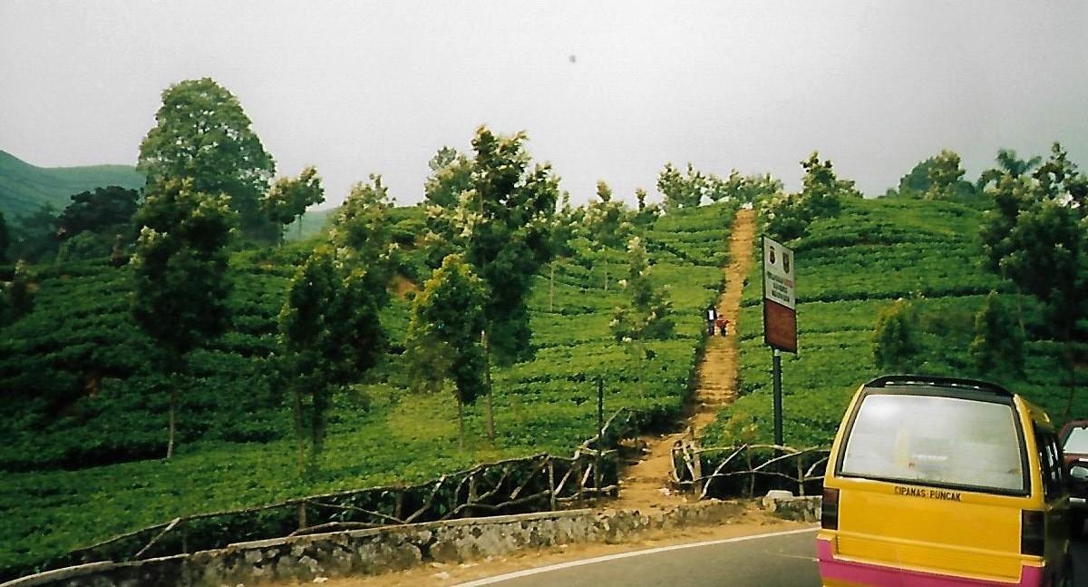 Teeplantagen am Puncak-Pass auf Java