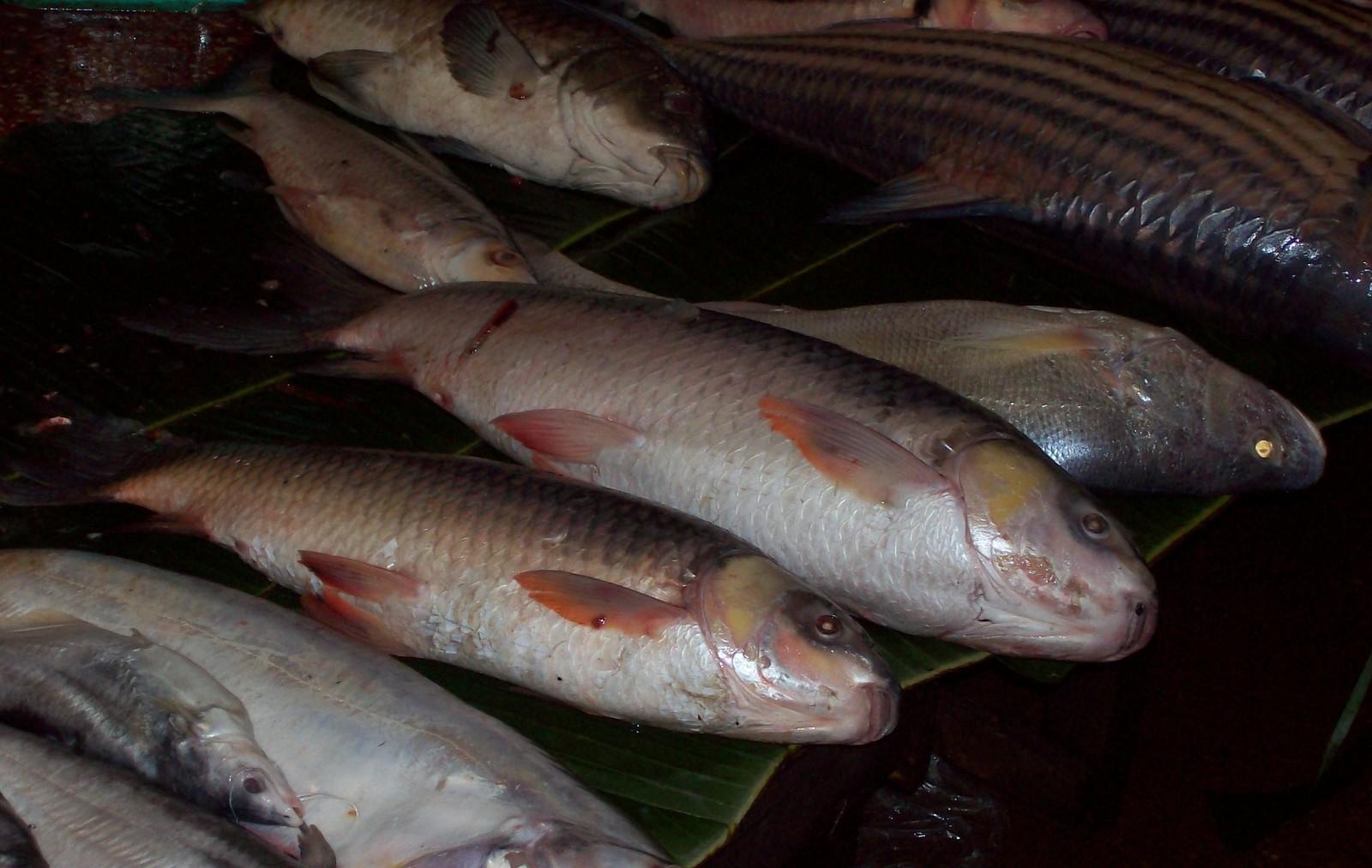 Mekong Fische Laos