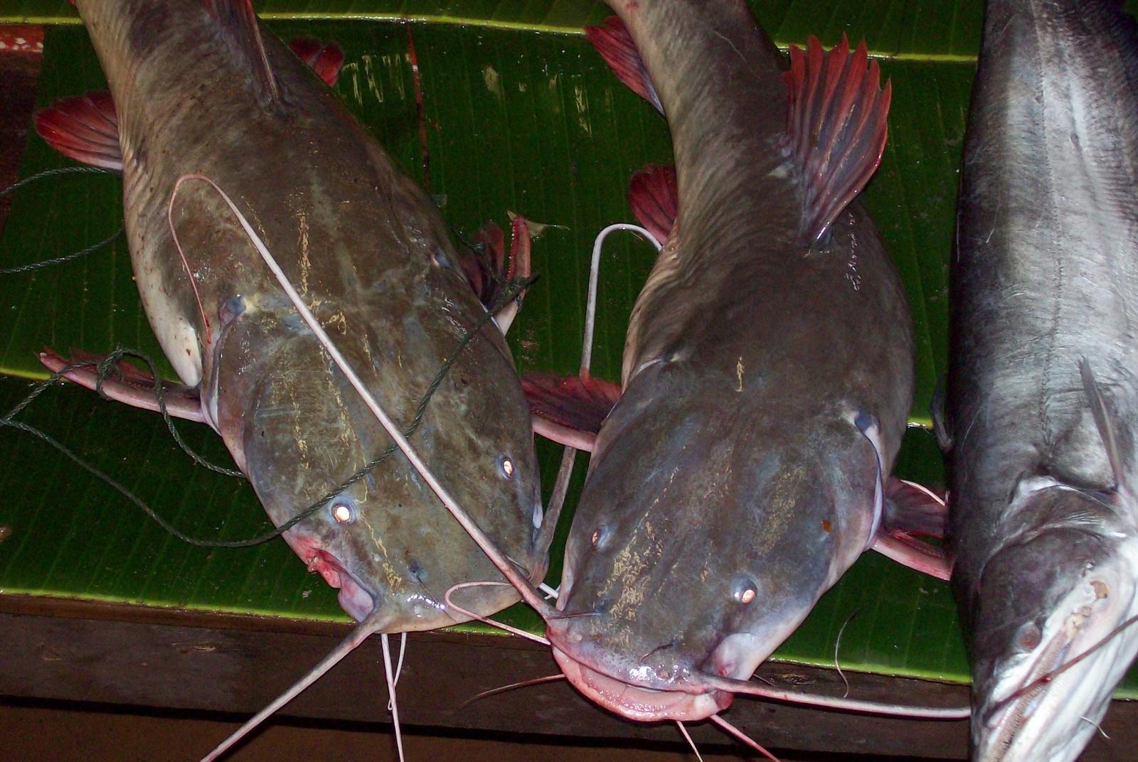 Mekong-Welse auf dem Markt von Pakse - Laos
