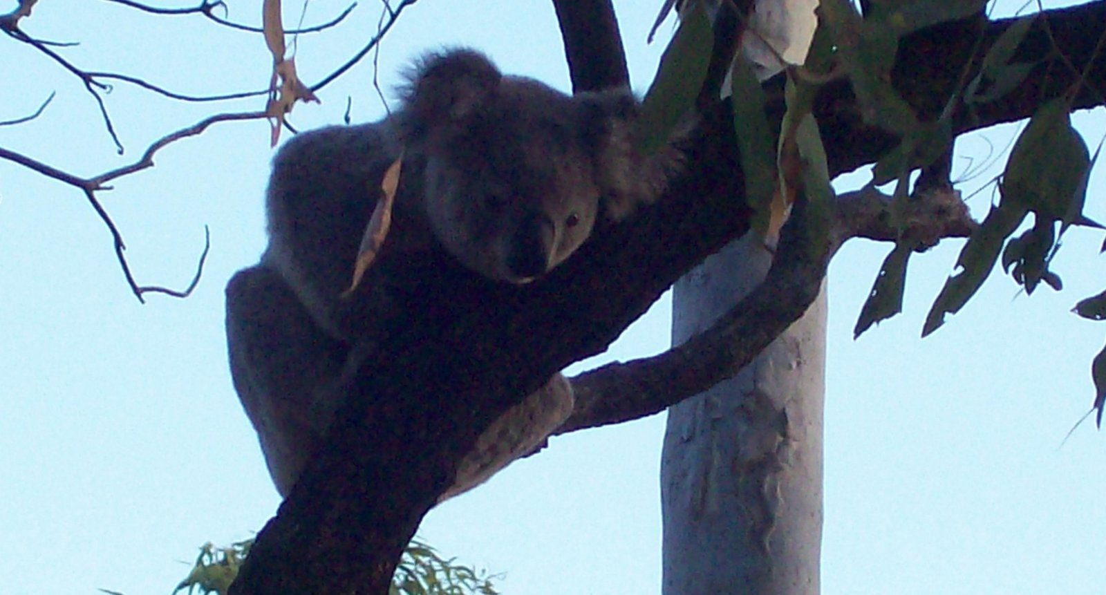 Koala auf Magnetic Island
