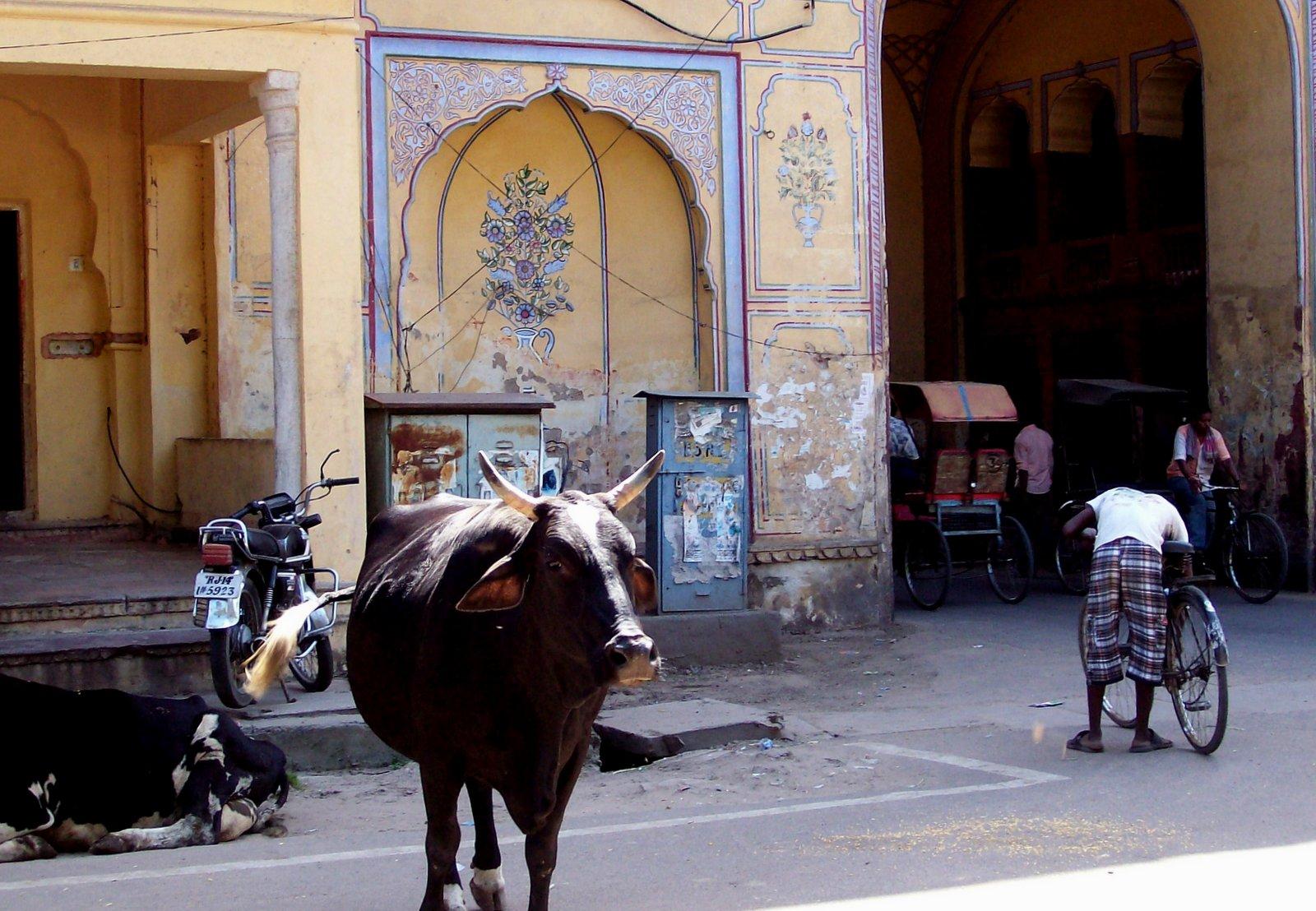 Heilige Kühe in Jaipur