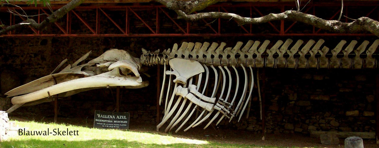 Skelett eines Blauwals in Colonia del Sacramento - Uruquay
