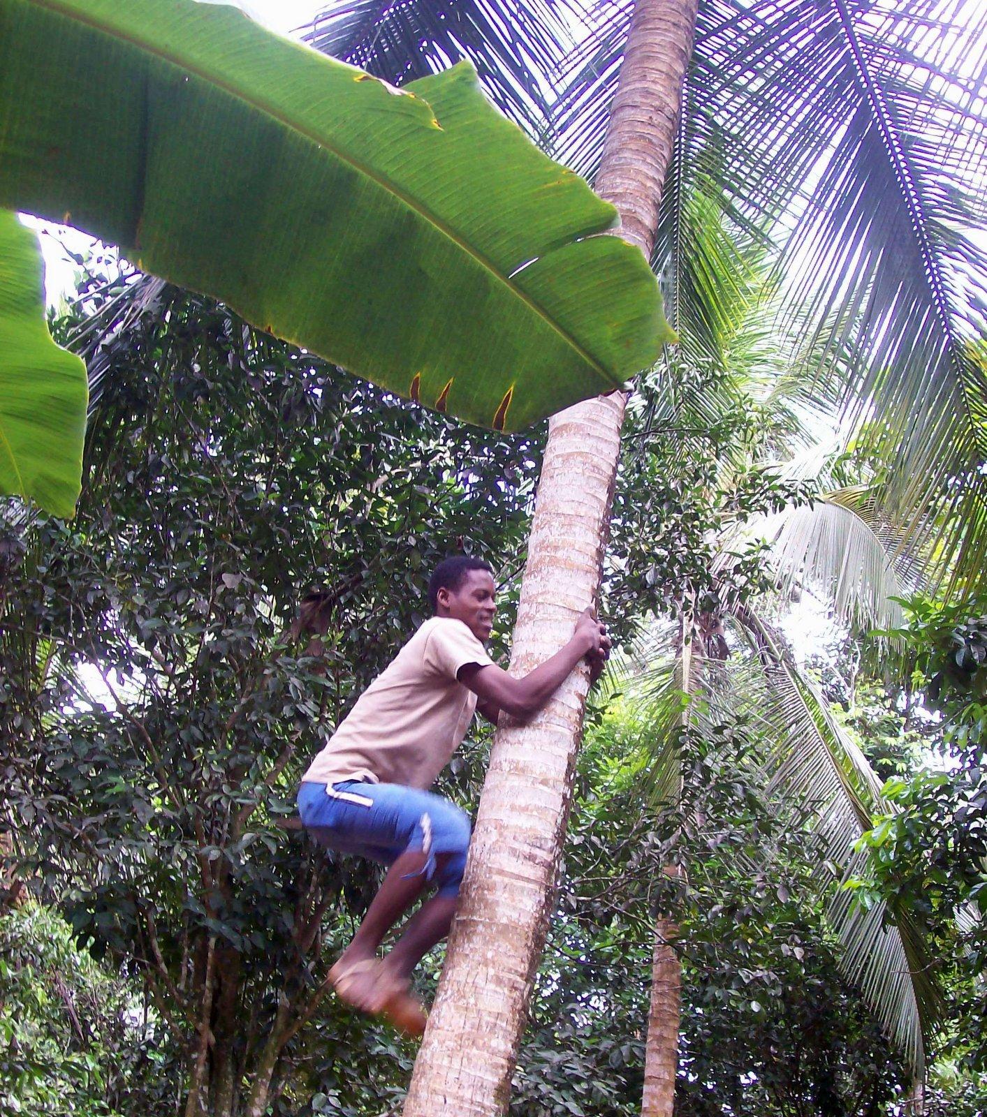 Ernte von Kokosnüssen auf Sansibar