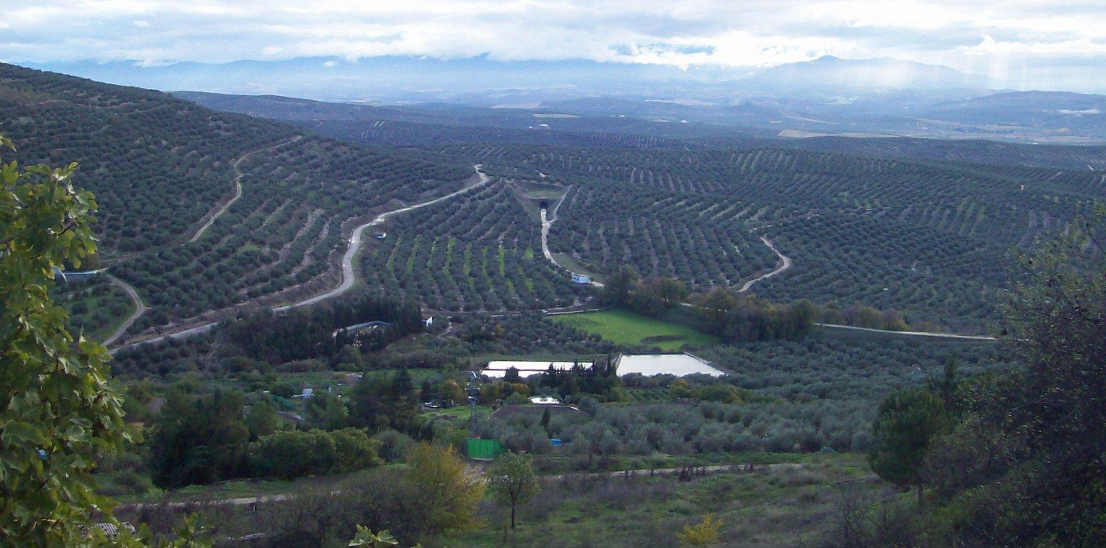 Olivenanbau bei Jaén