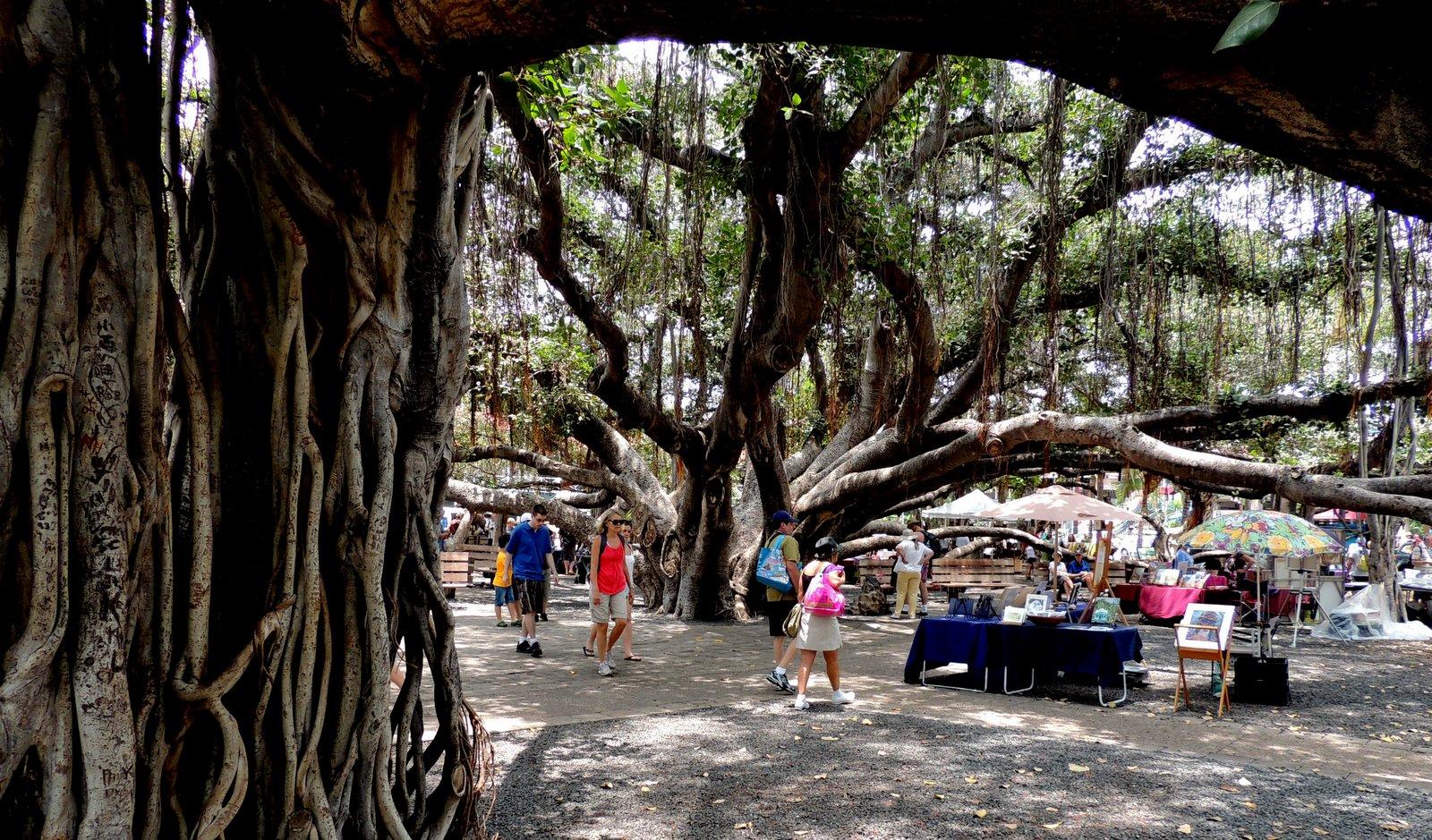 Banyanbaum von Lahaina - Maui