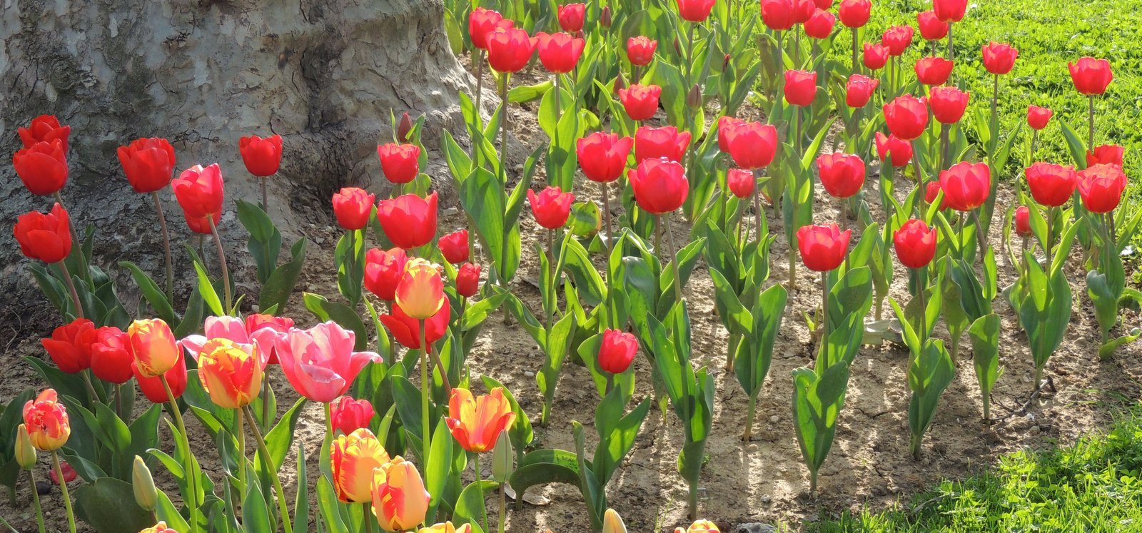 Tulpenfest in Istanbul im April