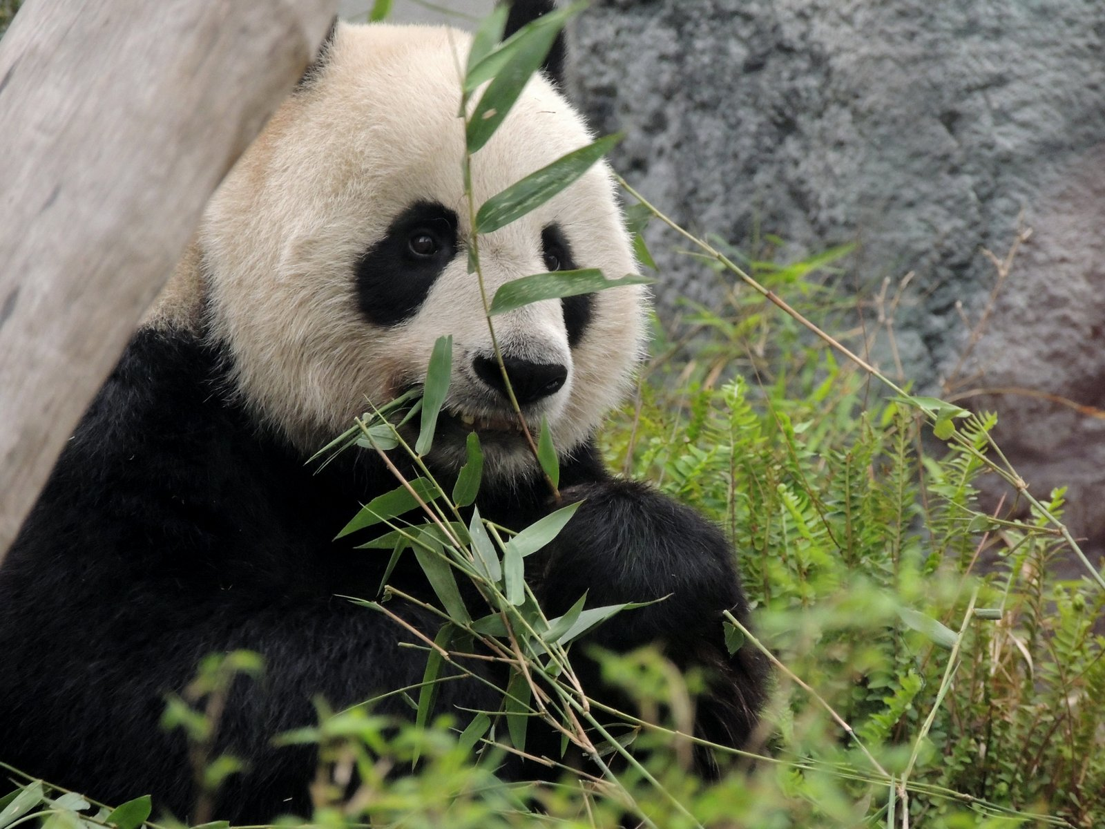 Panda Macau