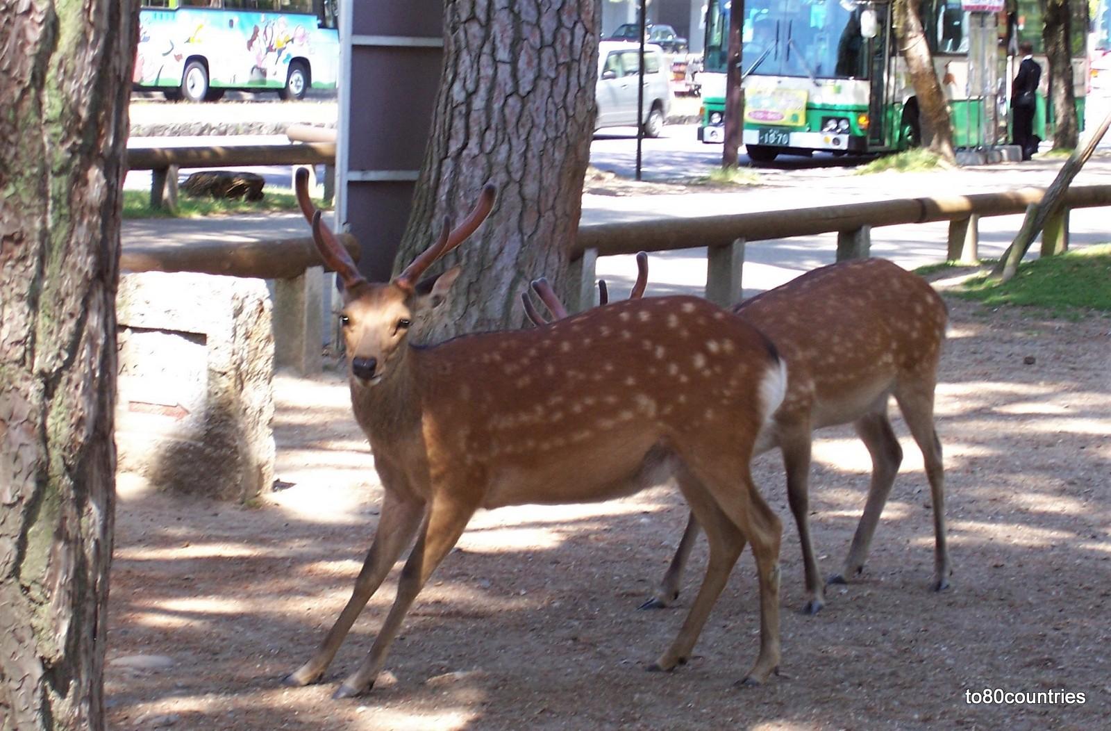 Nara-Park in Japan