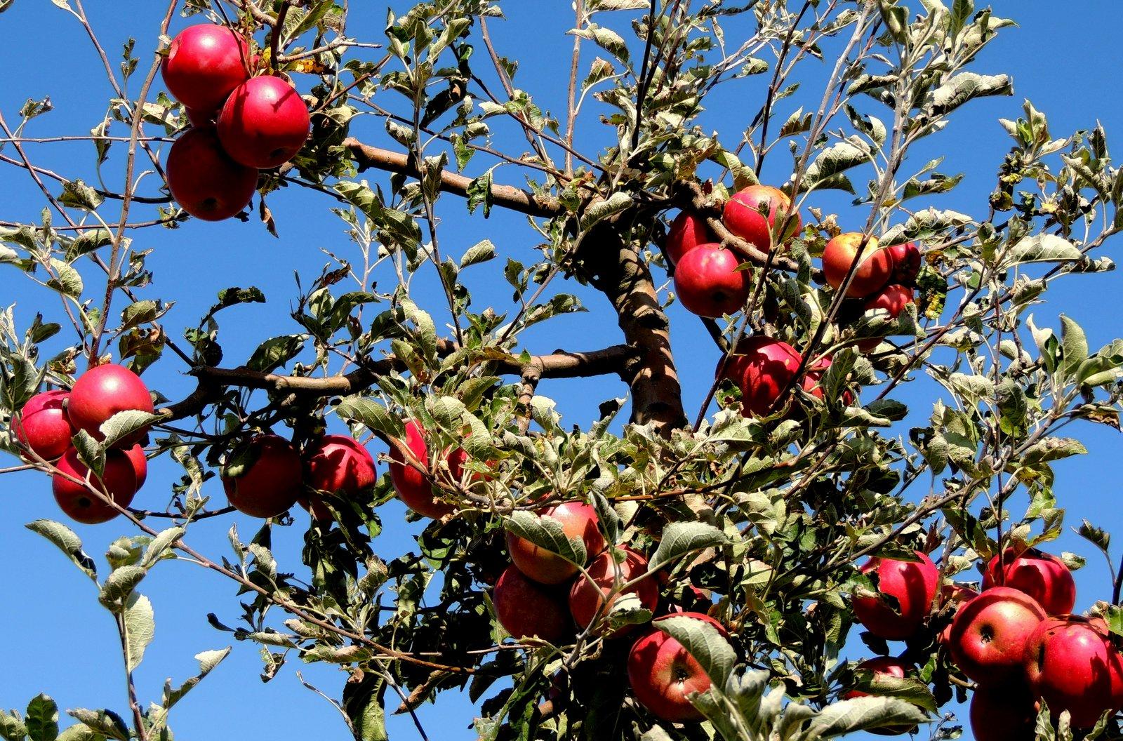 Apfelplantagen bei Resen