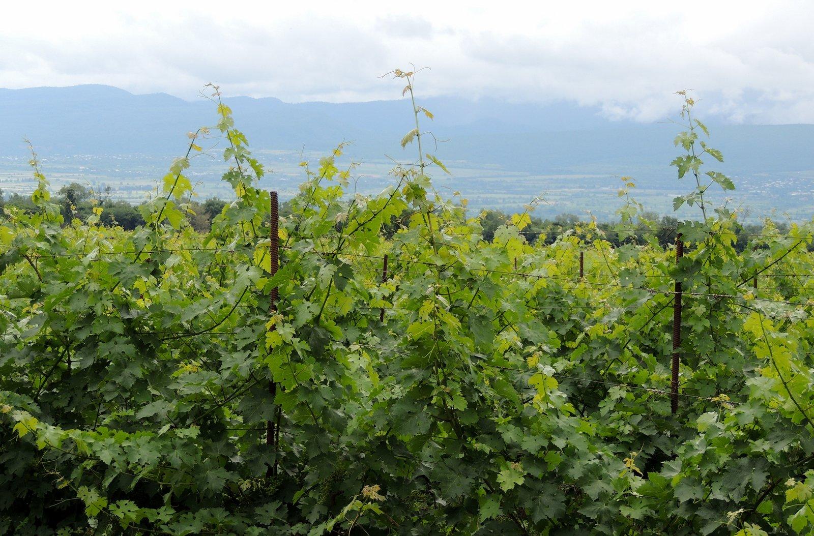Weinanbau in Kachetien - Georgien