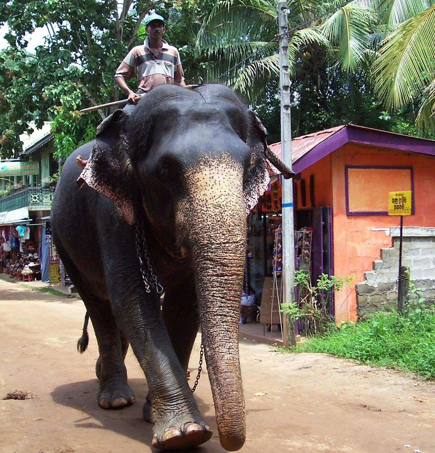 Elefanten-Waisenhaus von Pinnawela - Ceylon