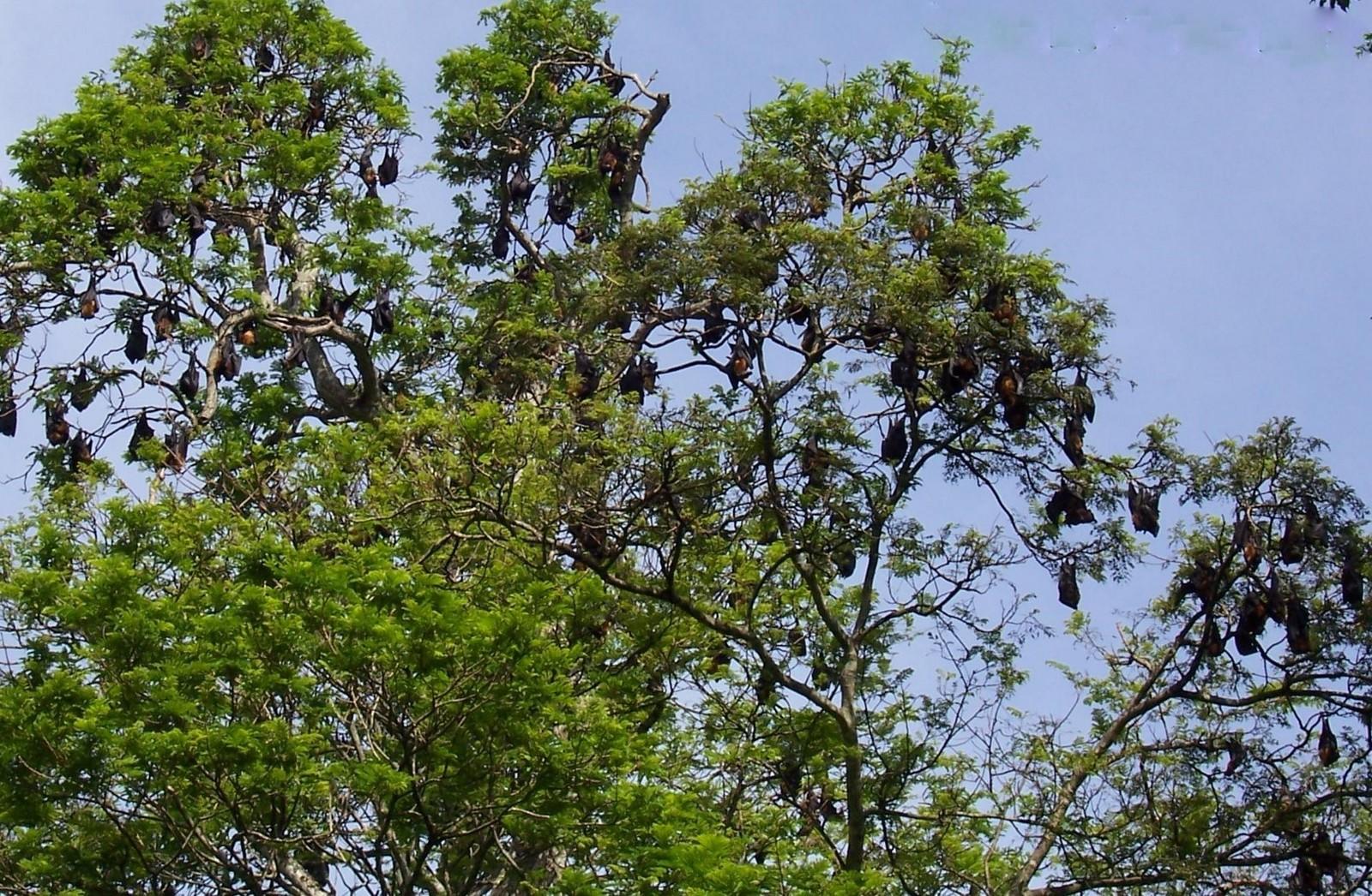 Fliegende Hunde - Botanischer Garten Peredeniya - Ceylon