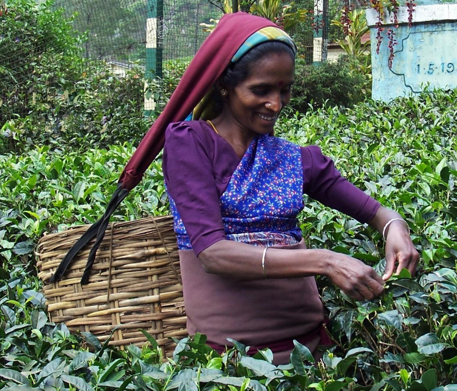 Mackwoods Tea Plantation - Ceylon