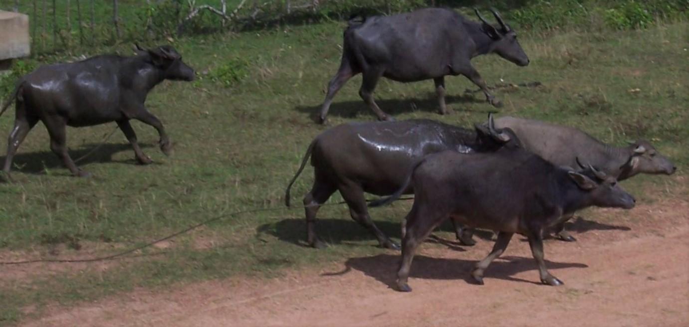 Mit dem Roller im Hinterland von Galle - Wasserbüffel