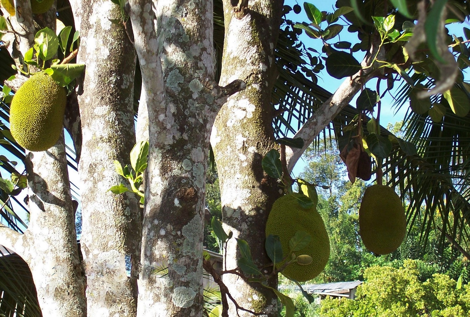 Jack Fruit Baum