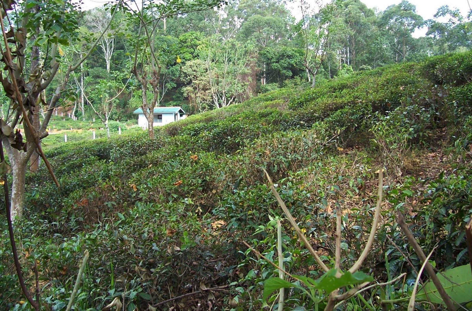 Teefelder bei Ella - Ceylon