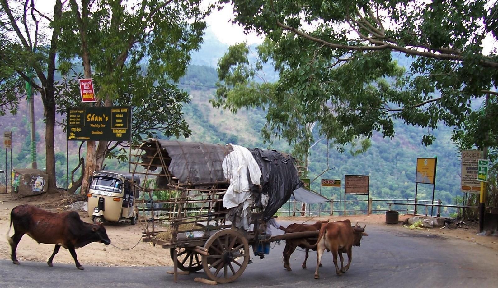 Ochsengespann an der Kehre Duhinda-R im Hochland von Ceylon