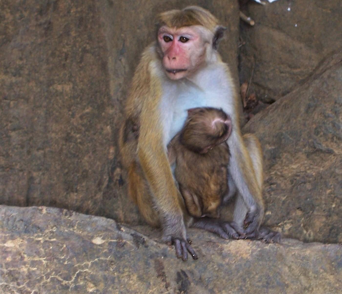 Affenmama im Hochland von Ceylon