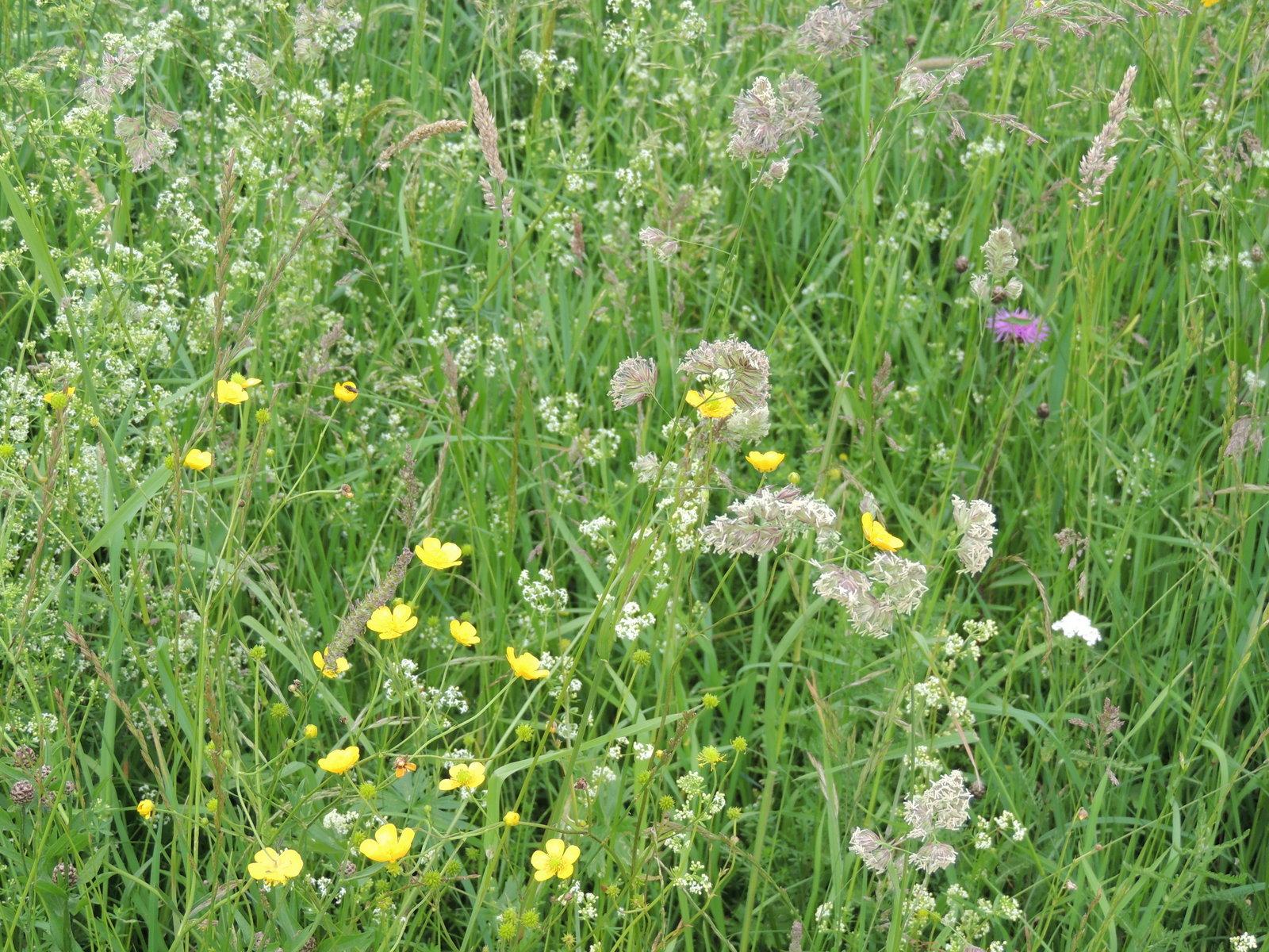 Blumenwiese am Enns-Radweg